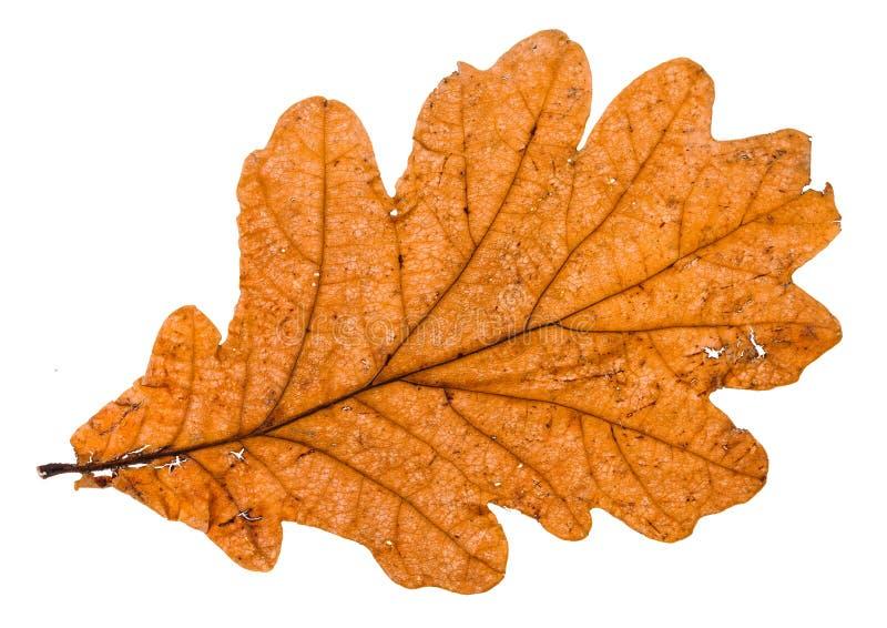 feuille cassée par automne de chêne d'isolement photographie stock