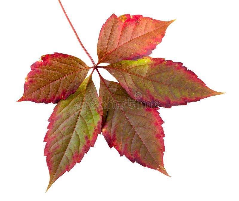 Feuille colorée d'automne photo stock
