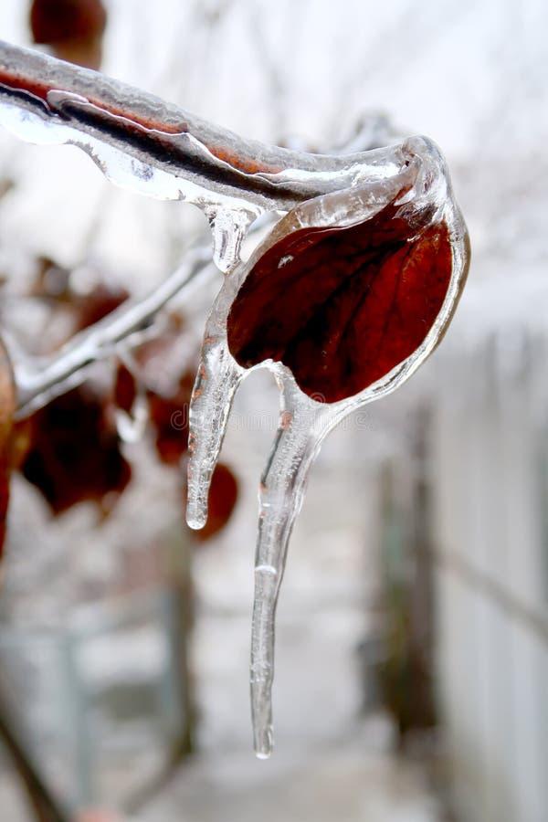 Feuille congelée focalisée pendant l'hiver photo stock