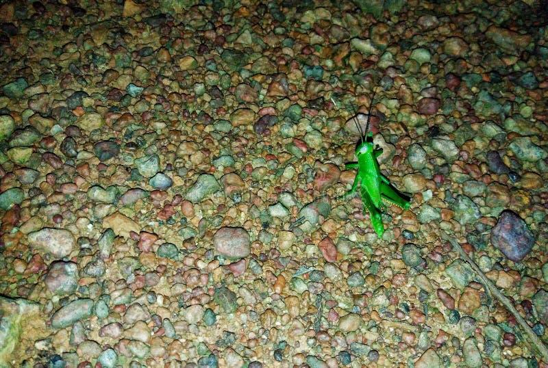 feuille-consommation de la sauterelle verte images stock