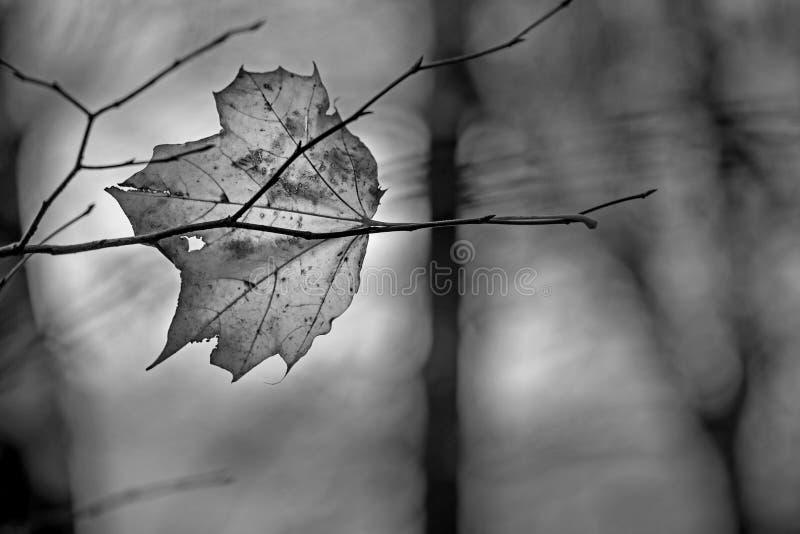 Feuille décomposée transparente d'automne d'érable se trouvant sur le branc nu images stock