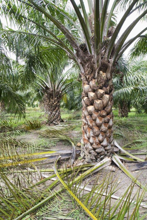elagage palmier a huile