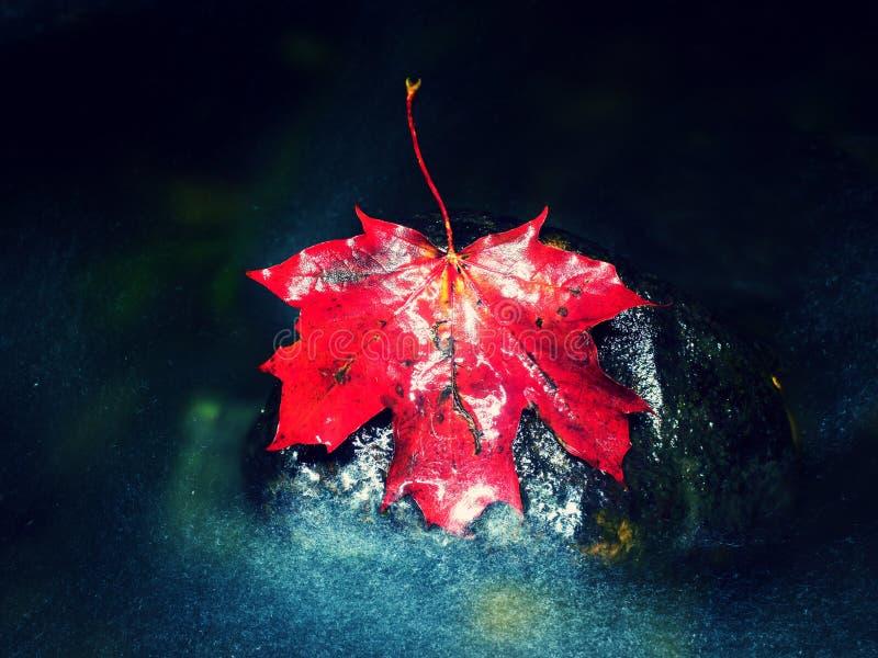 Feuille d'érable automnale rouge dans l'eau Feuille sèche propagée la pierre photographie stock libre de droits