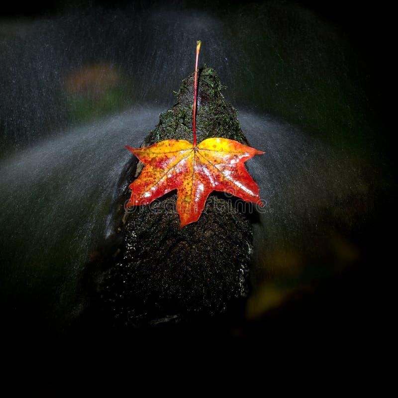 Feuille d'érable automnale rouge dans l'eau Feuille sèche propagée la pierre photos libres de droits