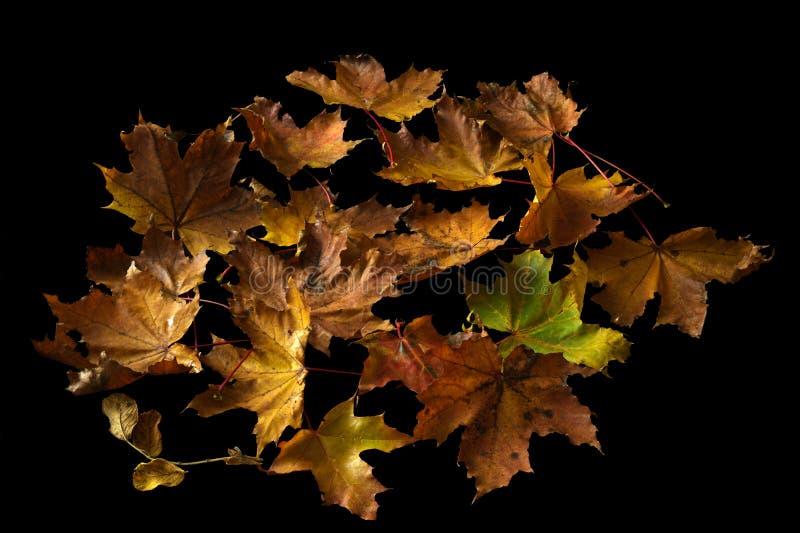 Feuille d'érable d'automne d'or d'isolement sur le fond noir photo libre de droits