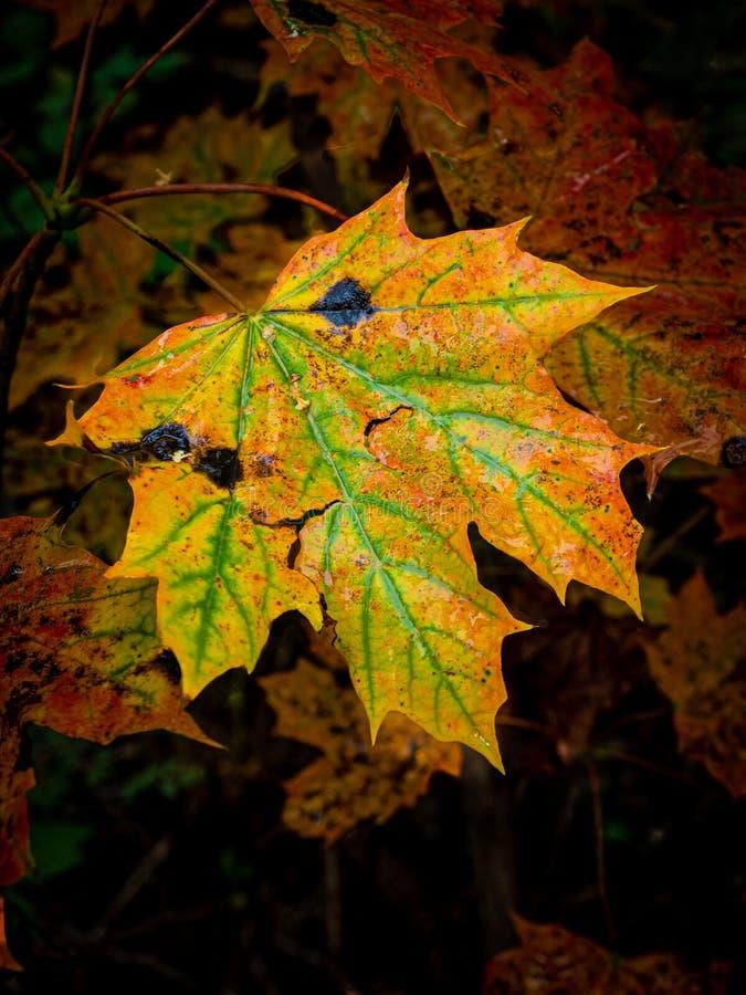 Feuille d'érable aux couleurs d'automne intenses photographie stock libre de droits