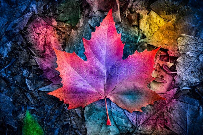 Feuille d'érable colorée d'automne au sol image libre de droits