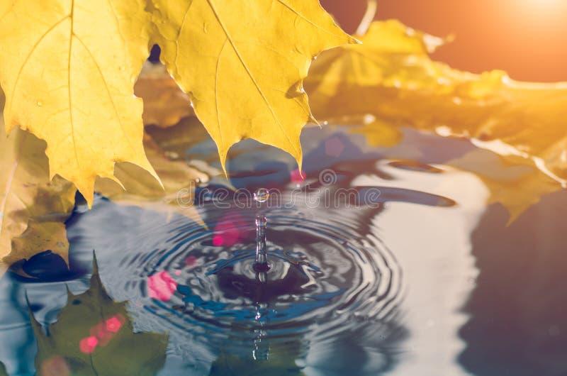 Feuille d'érable jaune et une goutte de l'eau à la lumière du soleil toned photographie stock
