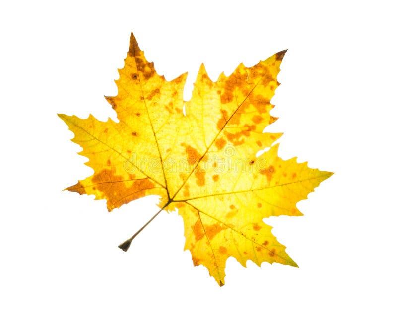 Feuille d 39 rable jaune orange d 39 isolement d 39 automne image - Image feuille automne ...