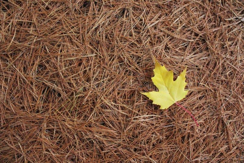 Feuille d'érable jaune sur des aiguilles de White Pine image stock