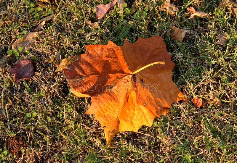 Feuille d'érable orange d'automne dans la tige d'herbe avec la lumière d'or photo libre de droits