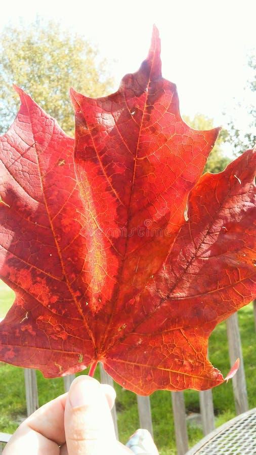 Feuille d'érable rouge géante de la chute images stock