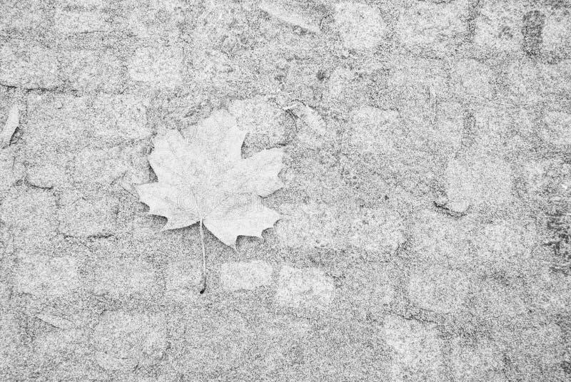 Feuille d'érable simple sur le trottoir couvert par gel image stock