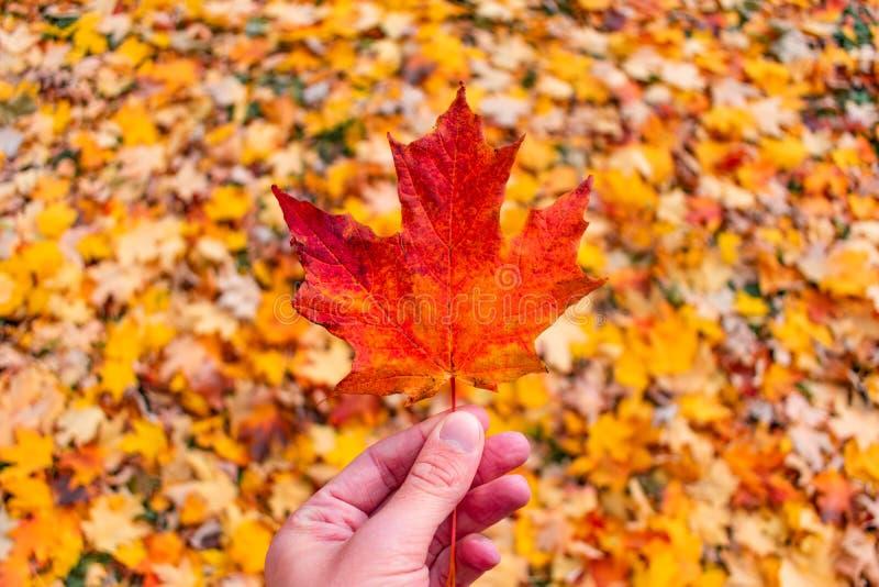 Feuille d'érable simple tenue au-dessus d'une pile des feuilles colorées pendant l'automne photo libre de droits