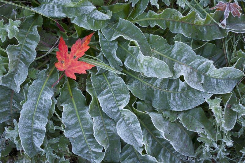 Feuille d'érable sur la couverture végétale givrée images stock