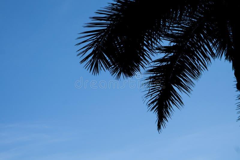 Feuille d'arbre de noix de coco de silhouette photos libres de droits