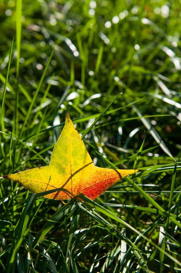 Feuille d'or brillante sur l'herbe photographie stock libre de droits