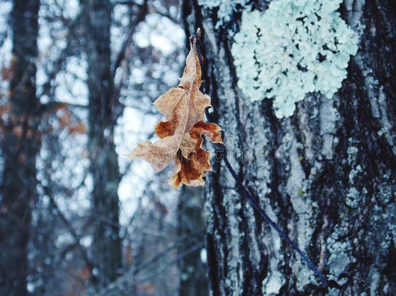 Feuille d'hiver photo stock