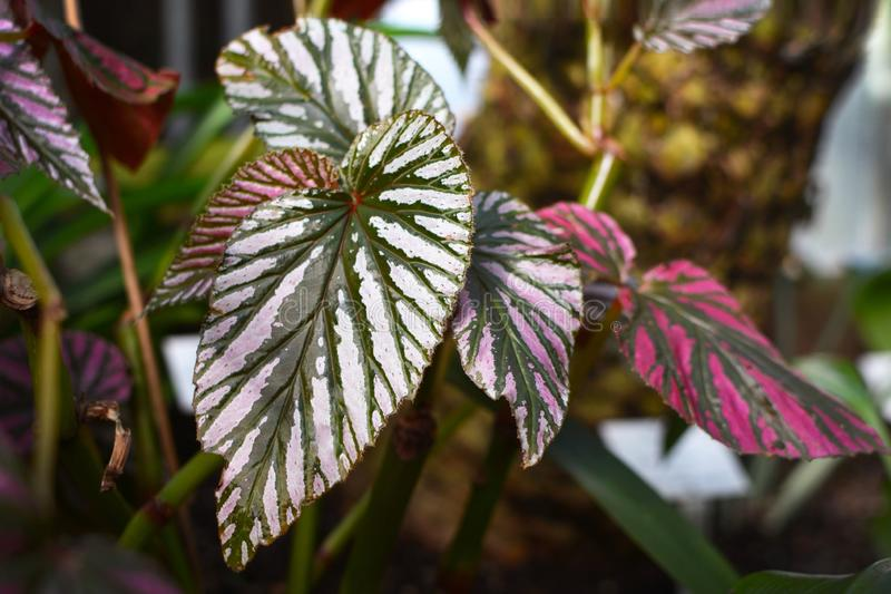Feuille d'usine de Begonia Brevirimosa photos stock