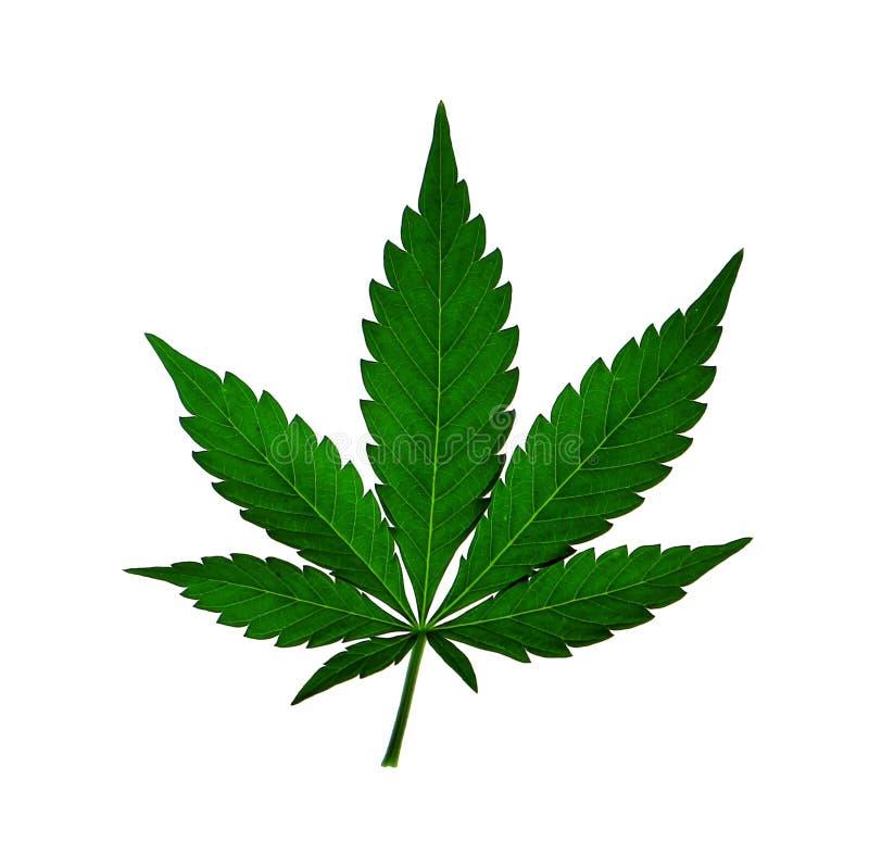 Feuille d'usine d'herbe de cannabis de ganja de chanvre de marijuana d'isolement sur le blanc photos stock