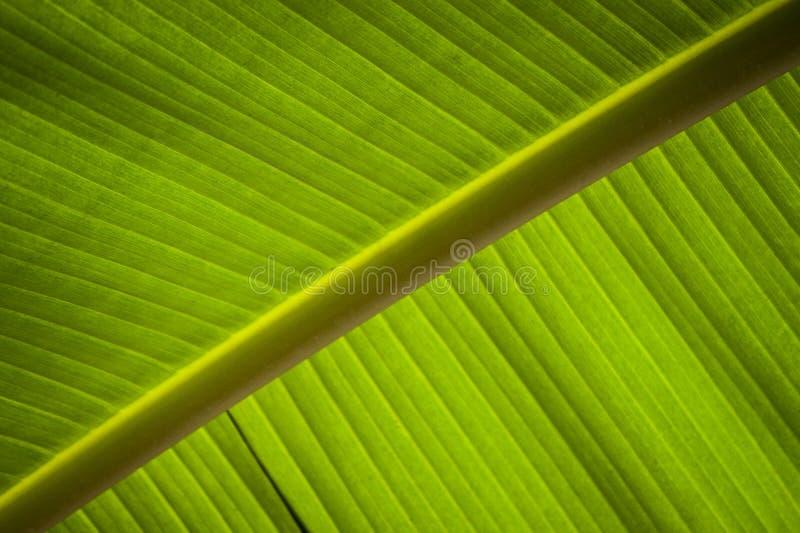 Download Feuille de banane image stock. Image du beau, exotique - 56487685