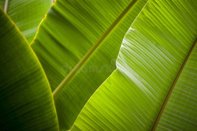 Download Feuille de banane photo stock. Image du beau, lignes - 56487734