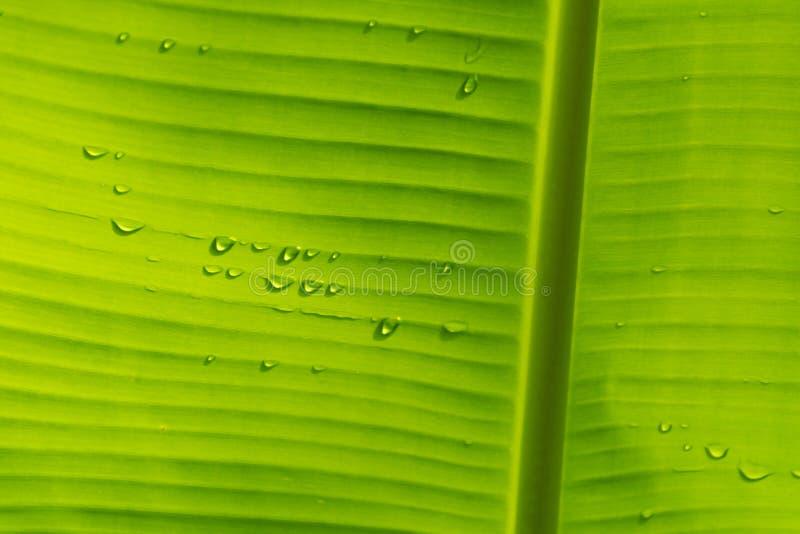 Feuille de banane avec la baisse de l'eau et lumière sur le dos photos libres de droits