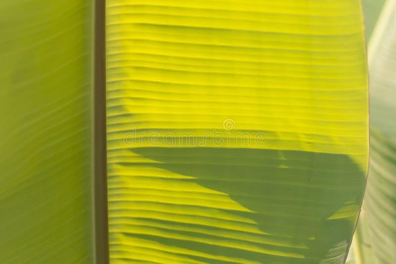 Feuille de banane, fond tropical vert de texture de feuillage de paume Lumière du soleil par la feuille Fond de nature photo libre de droits