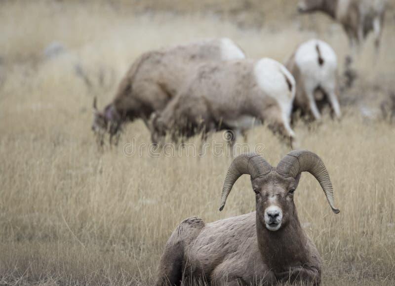Feuille de Bighorn se reposant dans l'herbe jaune devant le troupeau photo stock