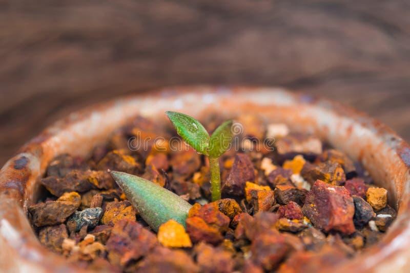Feuille de bourgeon de la petite usine succulente s'élevant sur le gravier de latérite image libre de droits