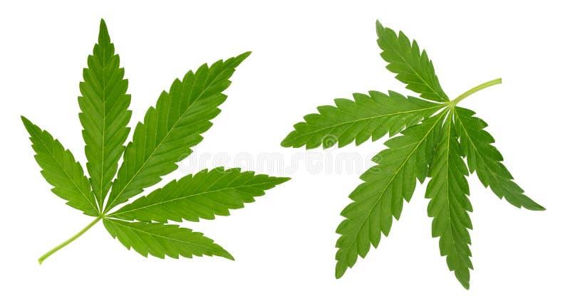 Feuille de cannabis d'isolement sur le blanc sans ombre image libre de droits