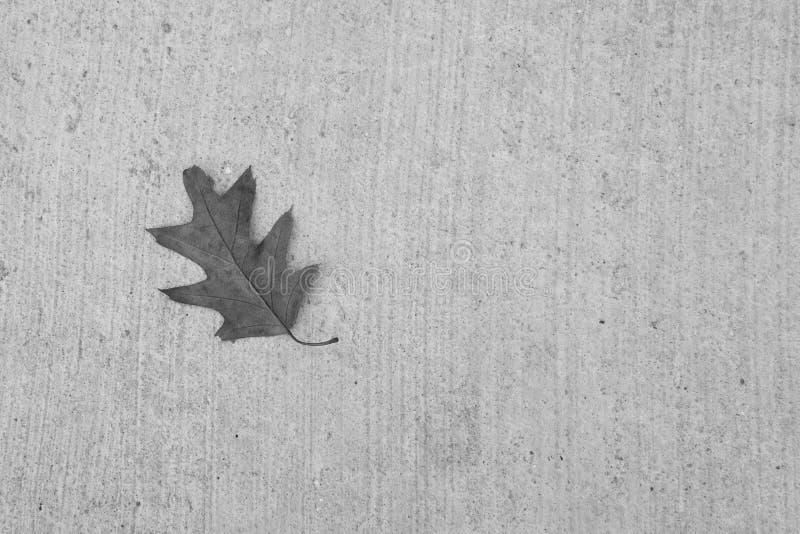 Feuille de chêne sur Gray Concrete Background, gamme de gris images stock