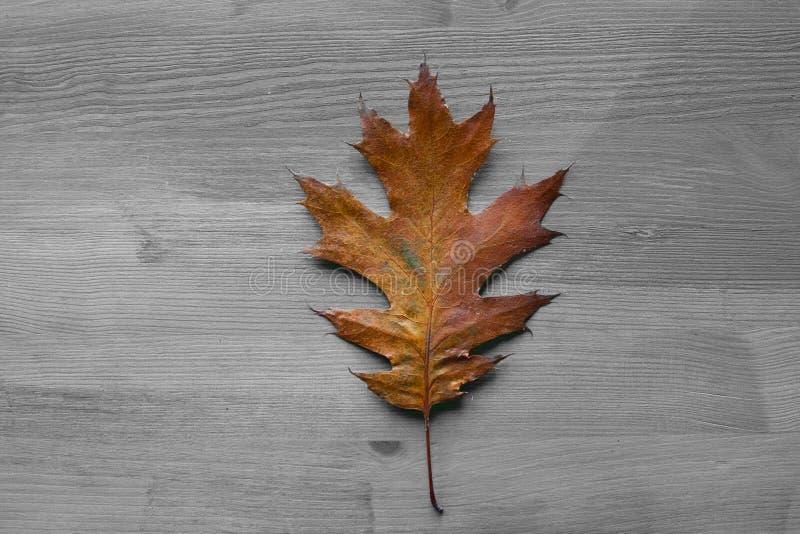 Feuille de chêne sur un fond en bois rustique Feuilles de chêne image stock