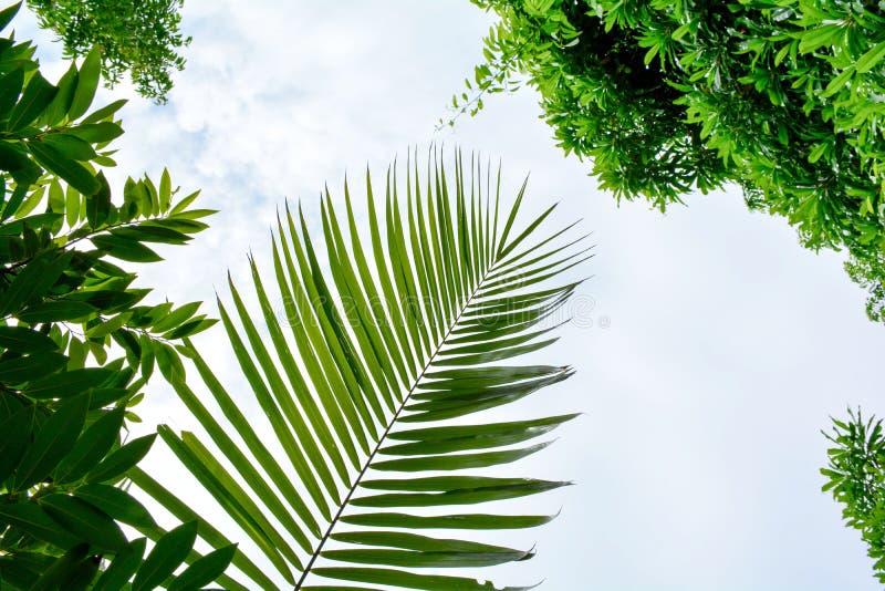 Feuille de coco de palme dans la forêt photographie stock