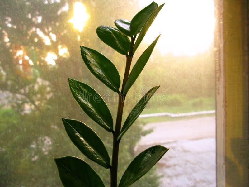 Feuille de fleur d'usine de maison de zamiofolia de Zamioculcas sur la photo sèche de fond d'éclat du soleil de gouttes de pluie  photographie stock libre de droits