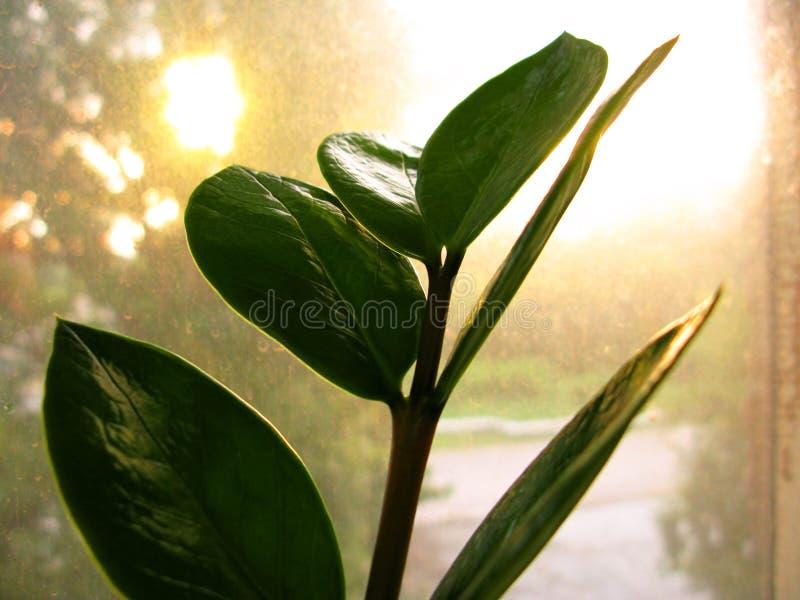 Feuille de fleur d'usine de maison de zamiofolia de Zamioculcas sur la photo sèche de fond d'éclat du soleil de gouttes de pluie  photos libres de droits