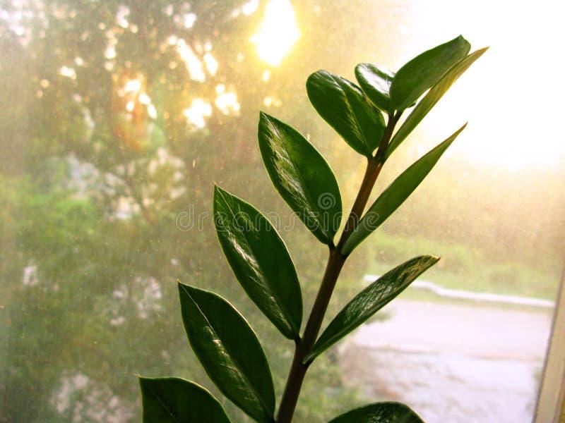 Feuille de fleur d'usine de maison de zamiofolia de Zamioculcas sur la photo sèche de fond d'éclat du soleil de gouttes de pluie  image libre de droits