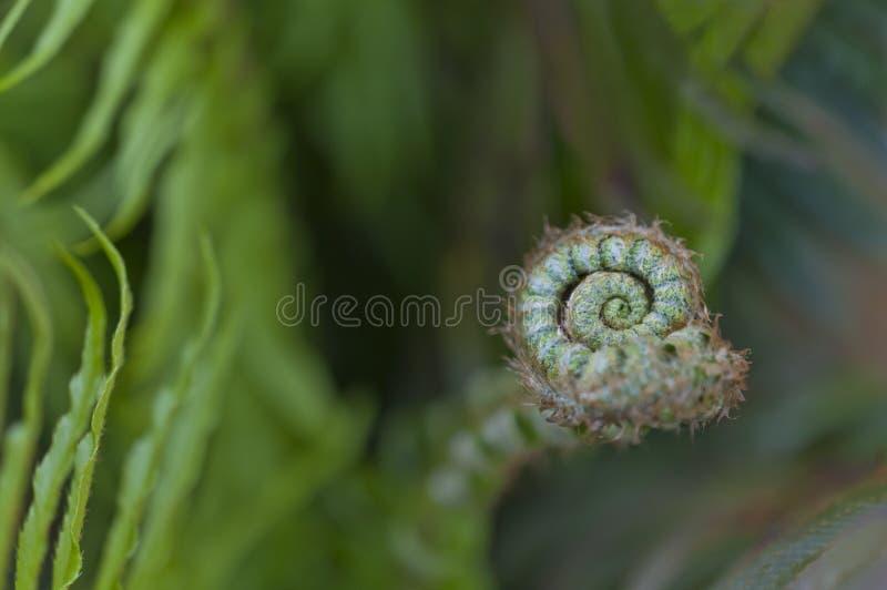 Feuille de fougère avec la spirale courbée dans la macro vue image stock