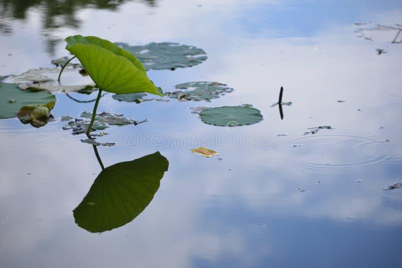 Feuille de Lily Lotus avec la réflexion image stock