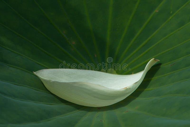 feuille de lotus du pétale n de lotus blanc photos libres de droits