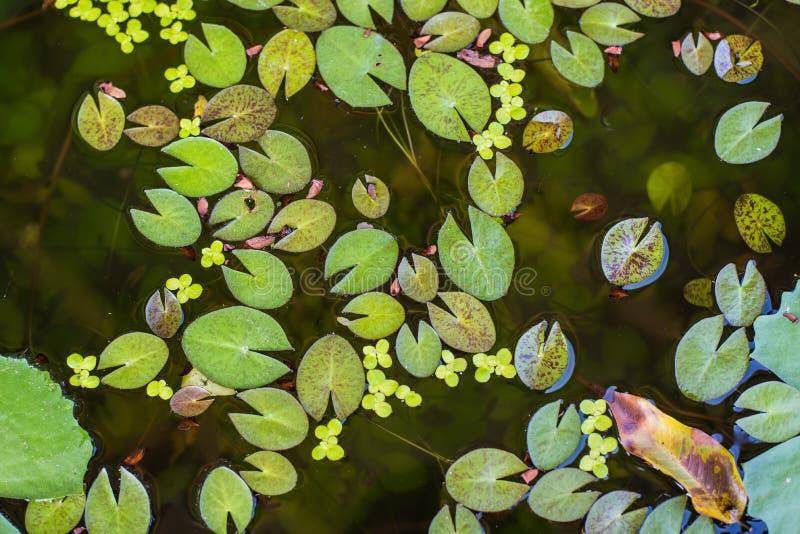 Feuille de Lotus petite dans l'étang photos stock