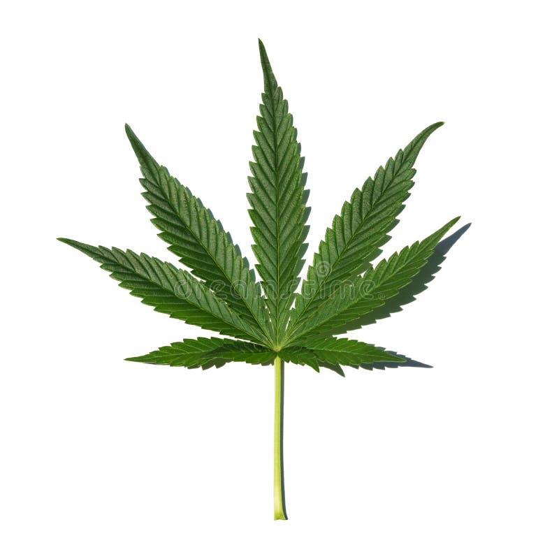 feuille de marijuana sur le fond blanc photo stock