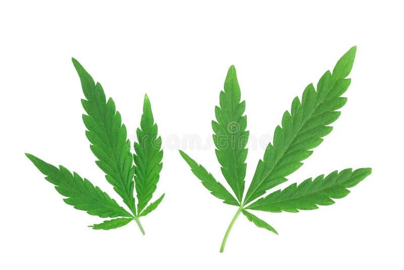 Feuille de marijuana, feuille verte de cannabis d'isolement sur le fond blanc image libre de droits