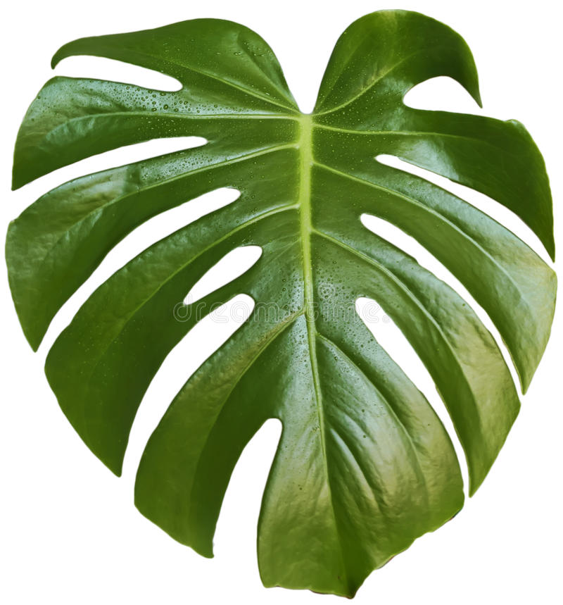 Feuille de monstera photographie stock