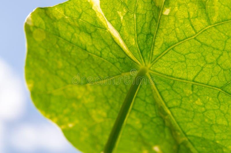 Feuille de nasturce de jardin de majus de Tropaeolum photos libres de droits
