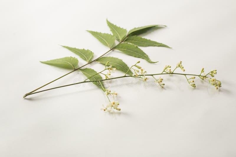 Feuille de Neem et fleur de neem images libres de droits