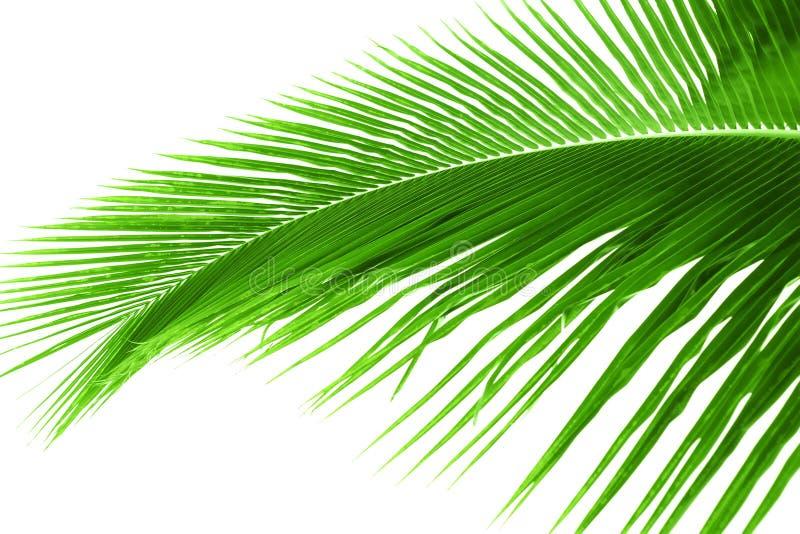 Feuille de palmier d'isolement image libre de droits