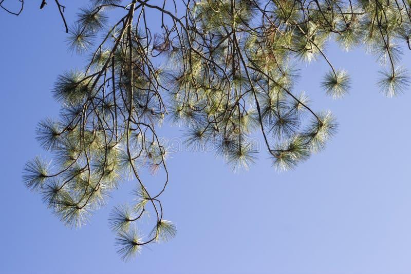 Feuille de pin de Kesiya photos stock