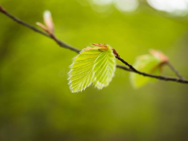 Feuille de plante verte s'élevant au-dessus du fond vert image stock