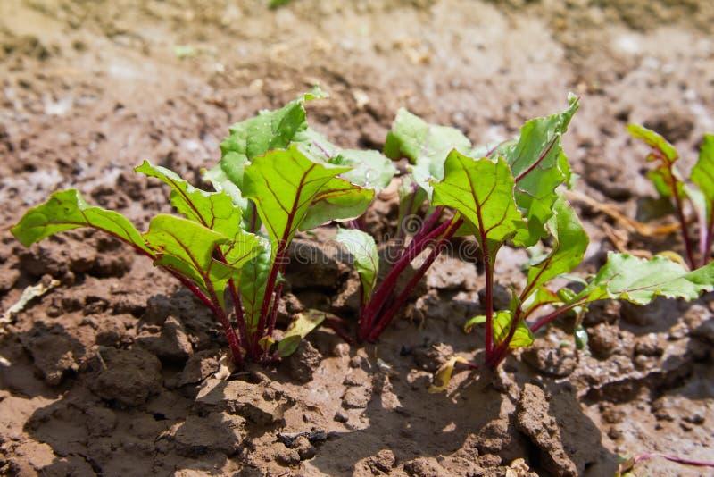 Feuille de racine de betterave Feuilles vertes fraîches de jeune plante de racine de betteraves ou de betterave image stock